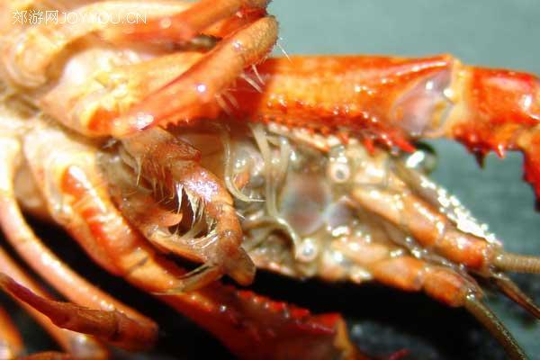 去头部外壳的小龙虾,我们可以看到充当消化器官的胃囊,很脏的啊